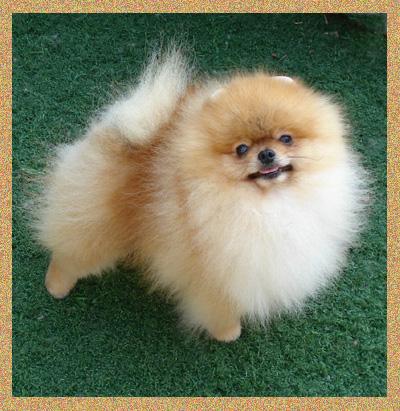 Lanas Pomeranians